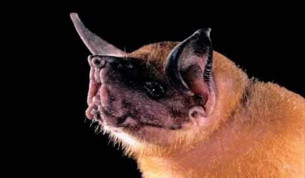 Bulldog-Bat-@akustika.co.id