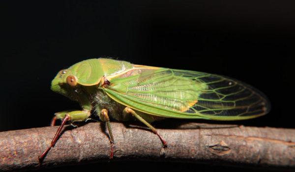 Green-Grocer-Cicada-@akustika.co.id