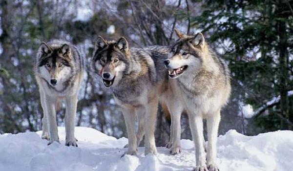 Grey-Wolf-@akustika.co.id
