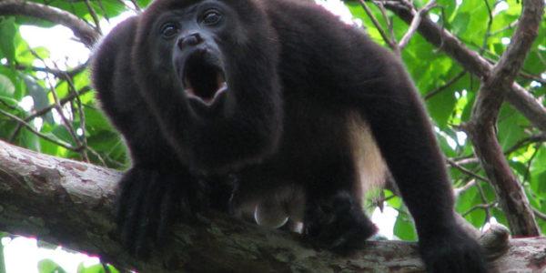Howler-Monkeys-@akustika.co.id