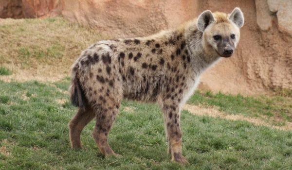 Hyena-@akustika.co.id