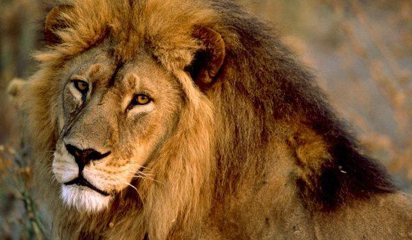 Lion-@akustika.co.id
