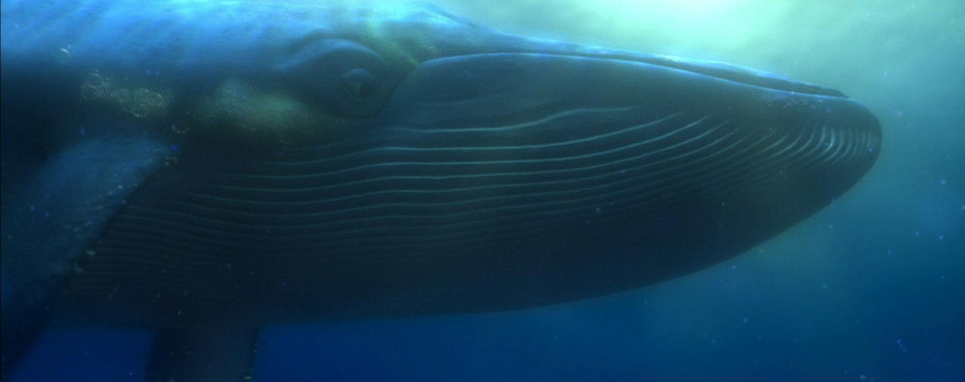 The Blue Whale-@akustika.co.id